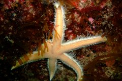A Seven armed-starfish (Luidia Ciliaris) with 5 arms