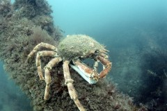 A Crab on an Iron knee rider, Cardigan Bay