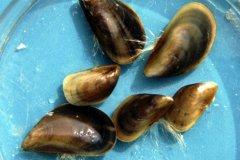 Blue Mussels (Mytilus edulis)