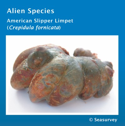 Alien Species: American Slipper Limpet