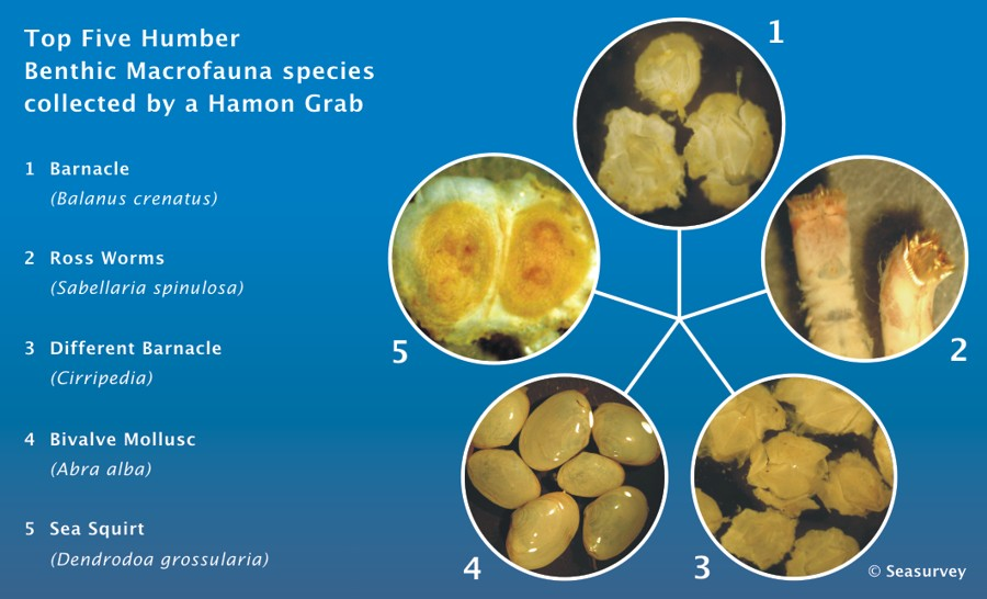 Top Five Species collected by Hamon Grab
