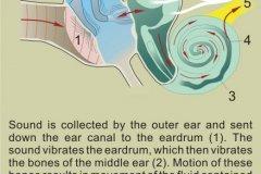 How we hear sound (plus text).
