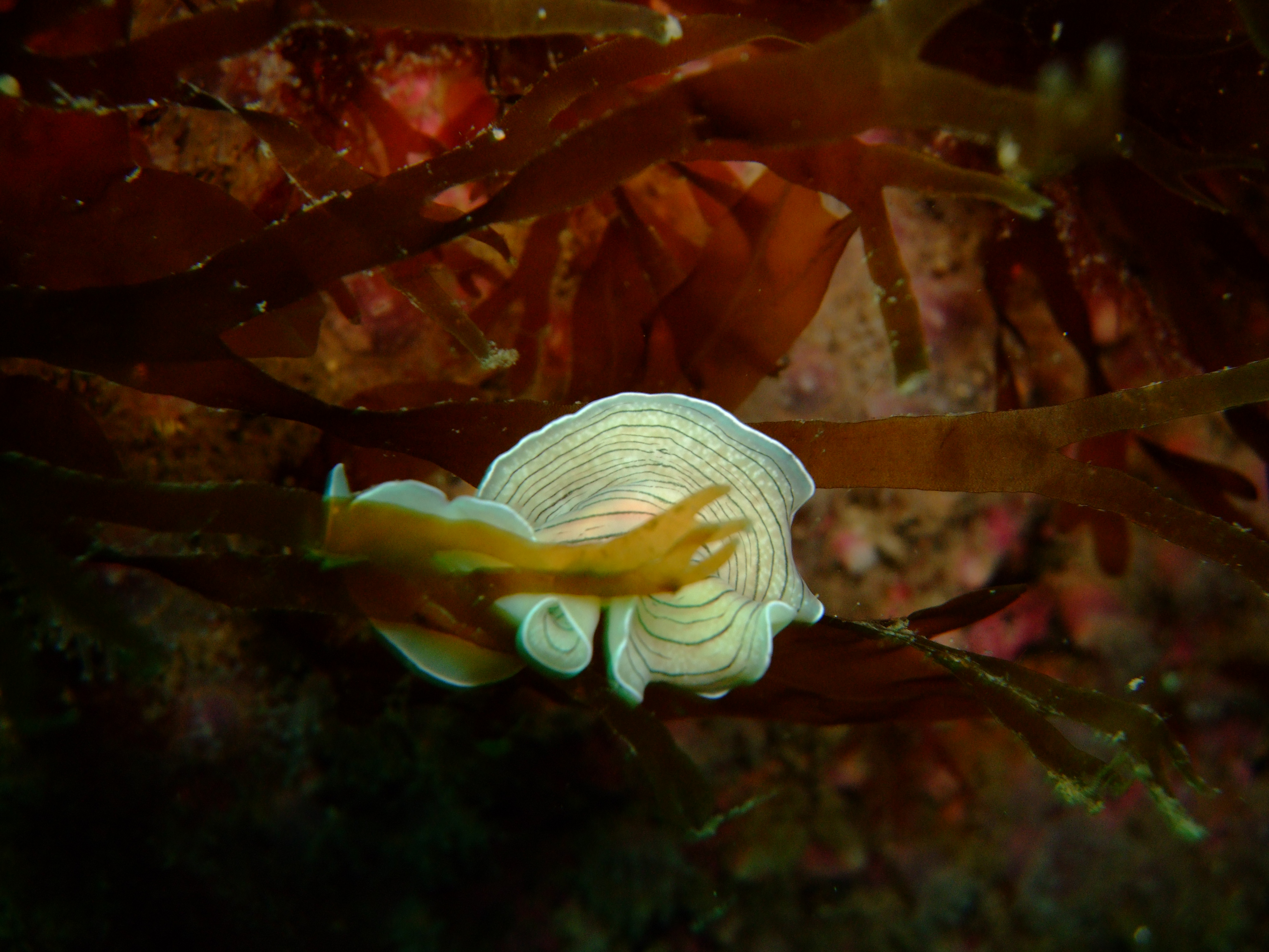 Candystripe flatworm2 (Prosthecereus vittatus)