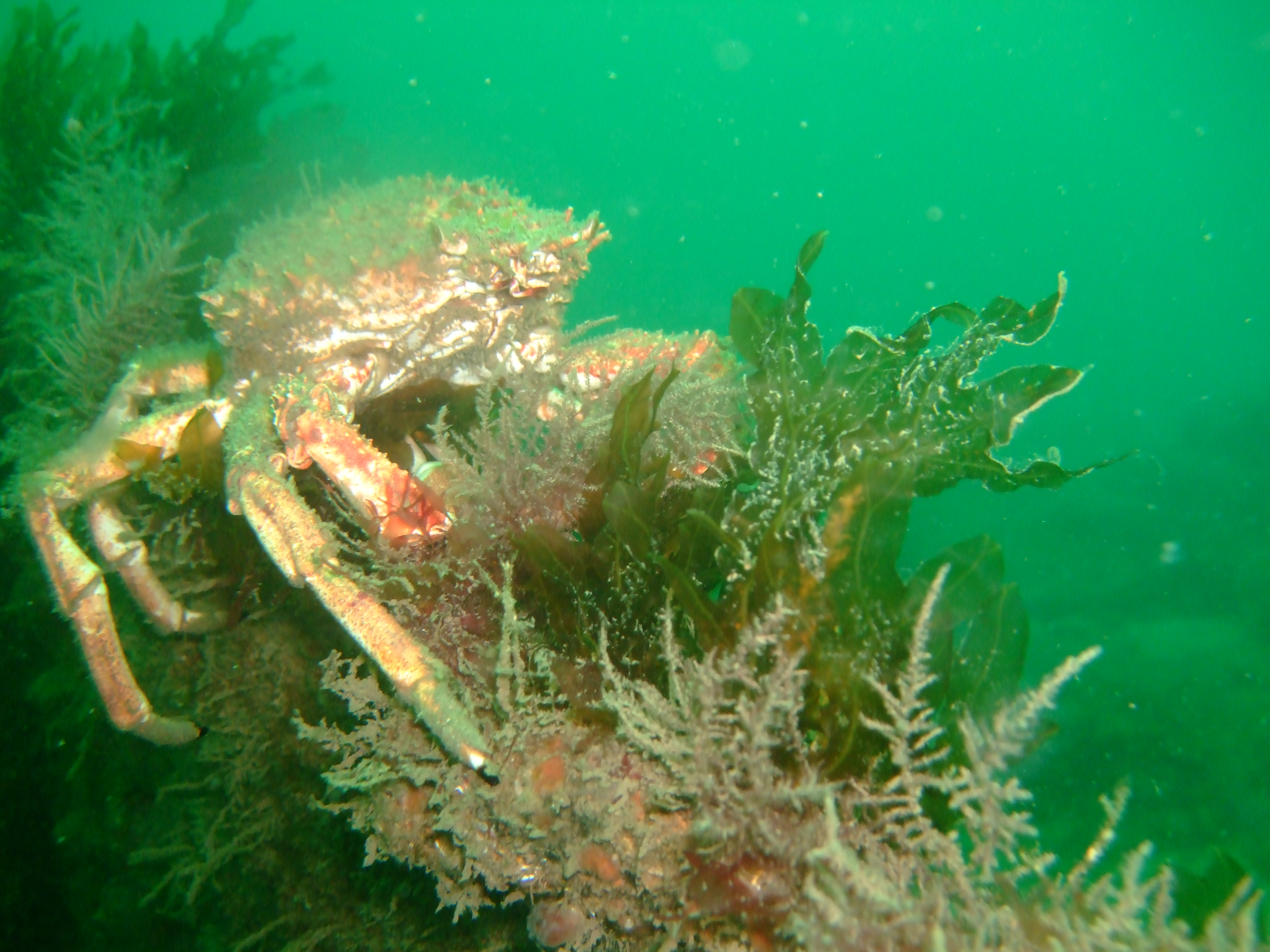 Spiny spider crab on reef