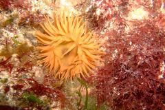 Beadlet anemone2 (Actinia equina)