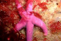 Bloody henry starfish (Henricia oculata)