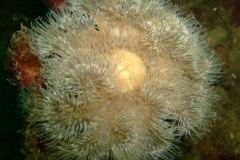 Plumose anemones (Metridium senile)