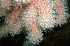 Red sea fingers (Alcyonium glomeratum)