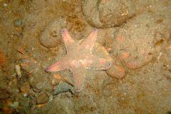Sand star