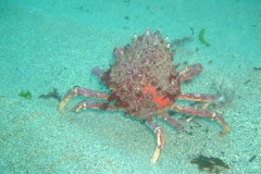 Spiny spider crab (Maja squinado)
