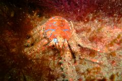 Spiny squat lobster (Galathea strigosa)