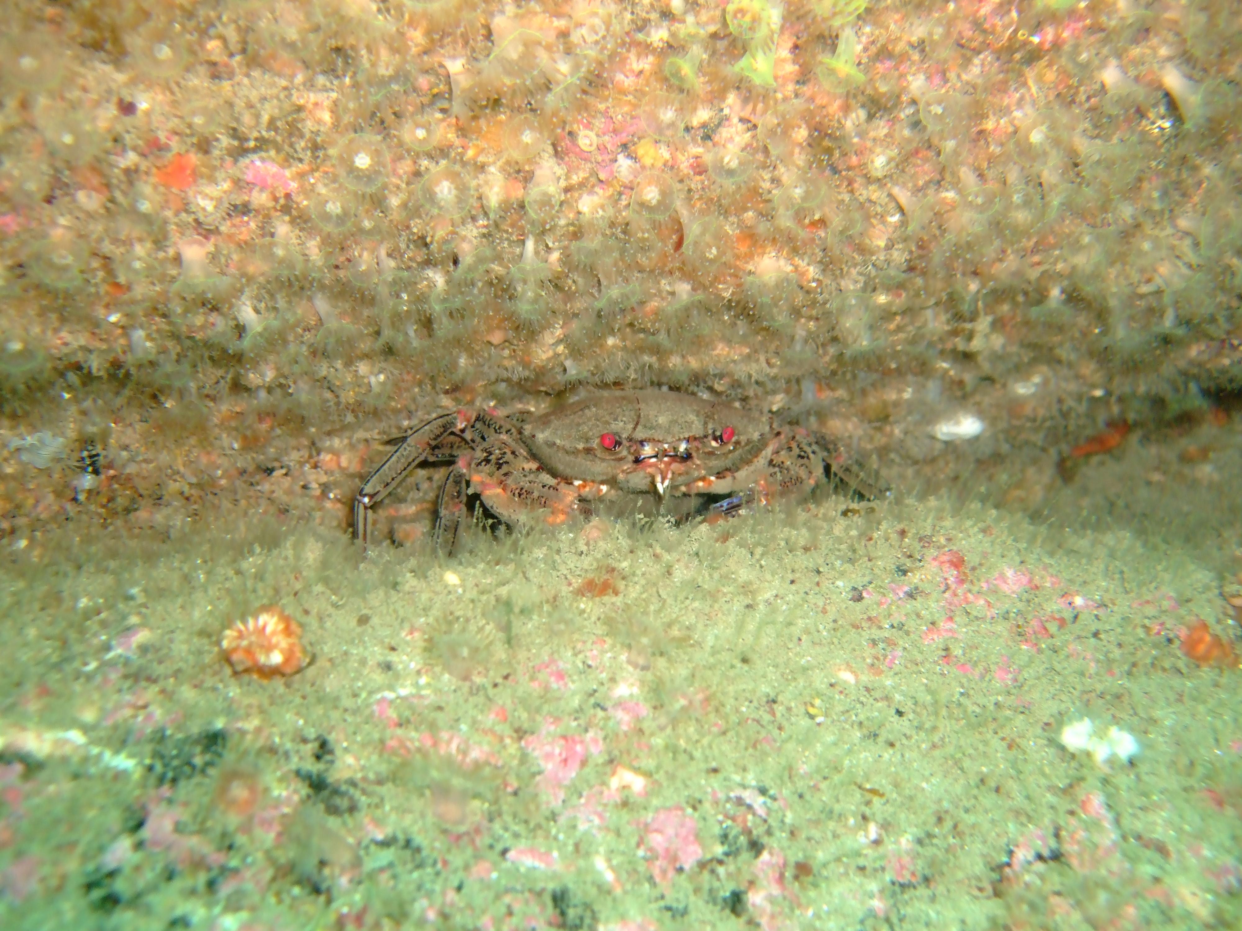 Velvet swimming crab (Necora puber)
