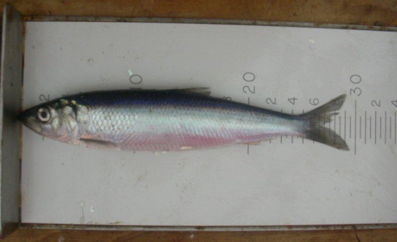 Herring (Clupea Harengus)