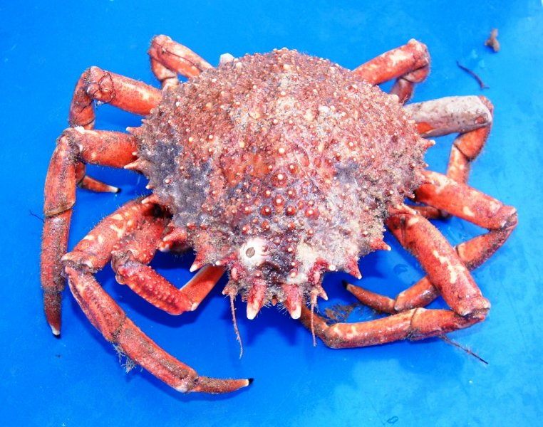 Spider Crab (Maja spp.)