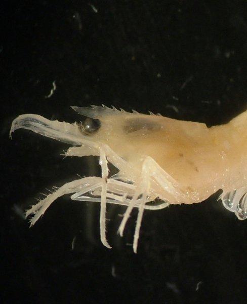 Zooplankton (Pandalina spp.)