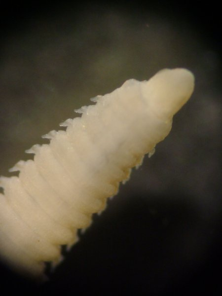 Polychaete Worm (Lumbrineris spp.)