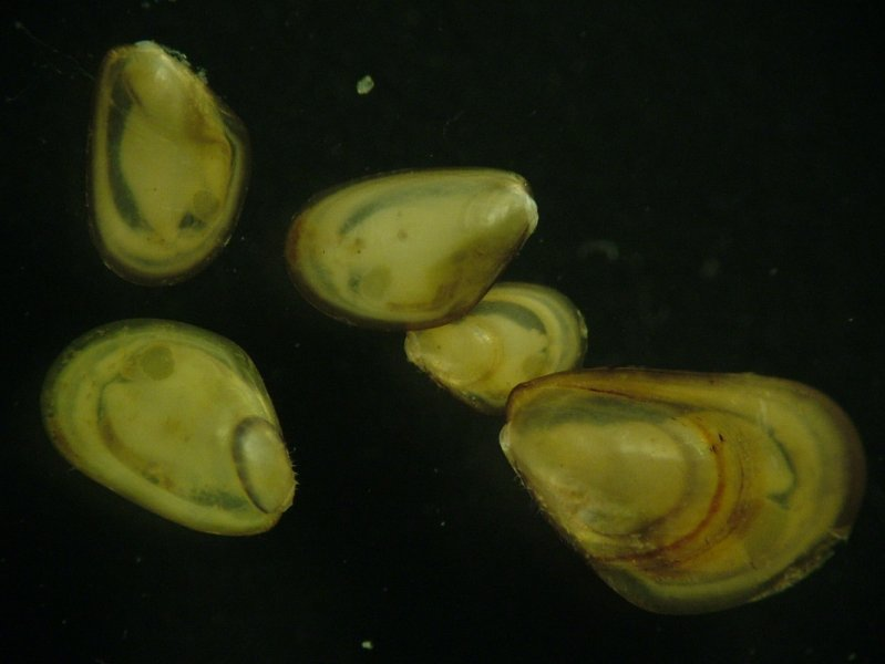Juvenile Saltwater Mussels (Mytilidae)