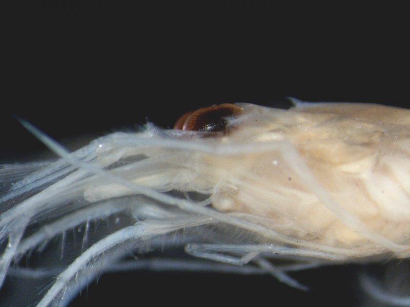 A Shrimp (Crangon allmanni)