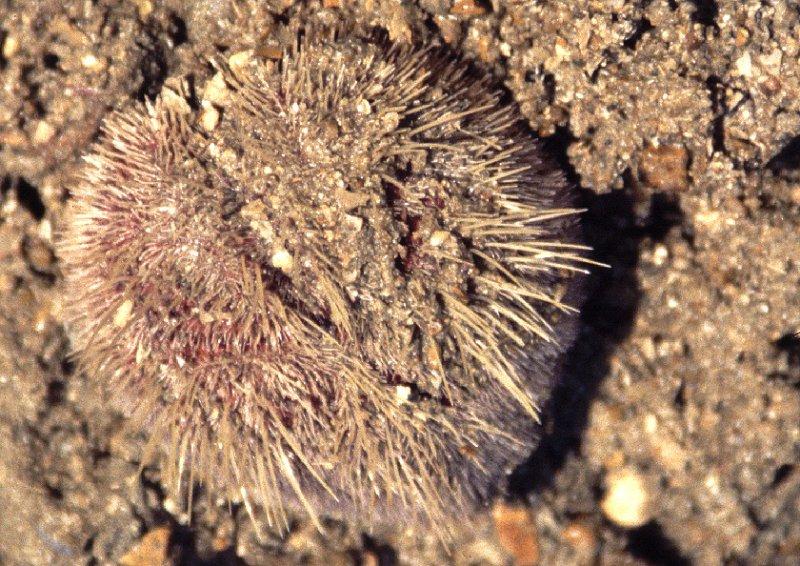 Heart Urchin, (Echinocardium cordatum)