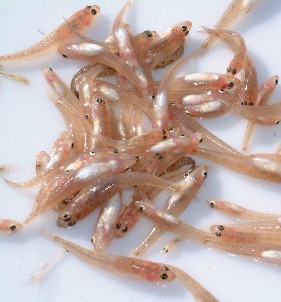 Goby (Gobiidae)