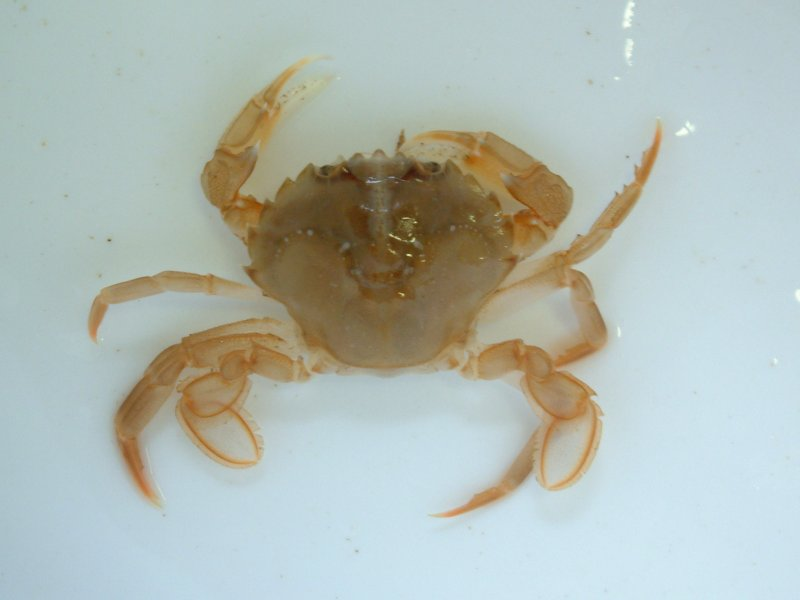 Flying Crab (Liocarcinus holsatus)