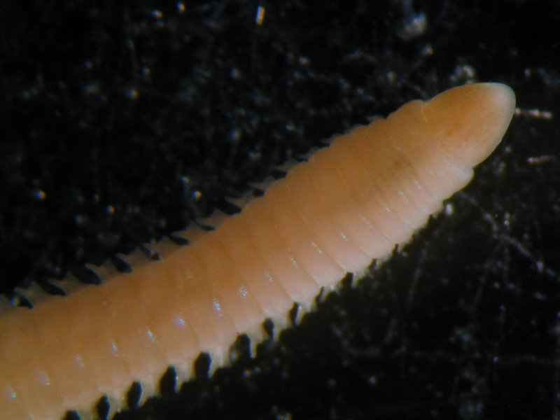 Bristleworm (Lumbrineris gracilis) anterior