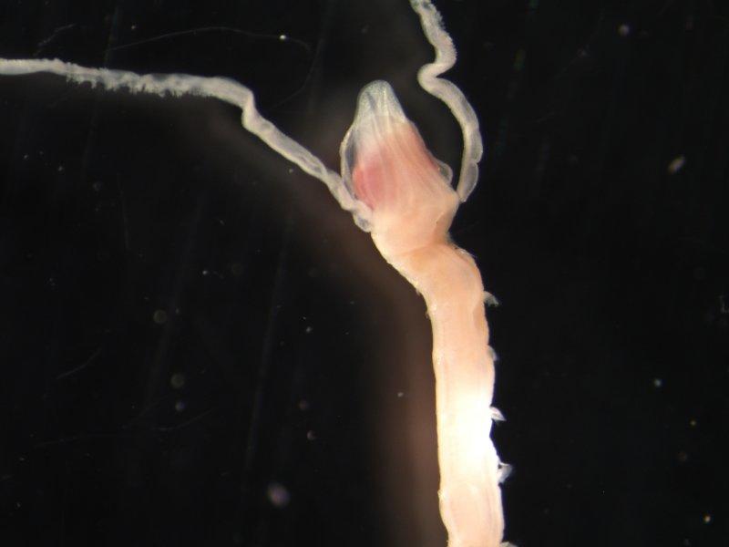 Polychaete worm (Magelona johnstoni)