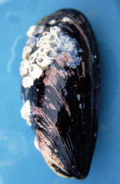 Blue Mussel (Mytilus edulis)