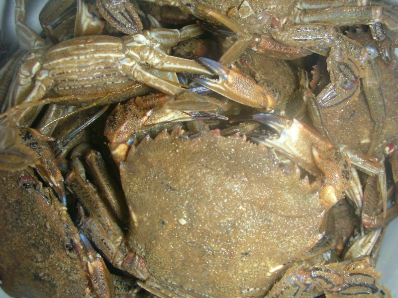 Velvet Swimming Crab, (Necora puber)