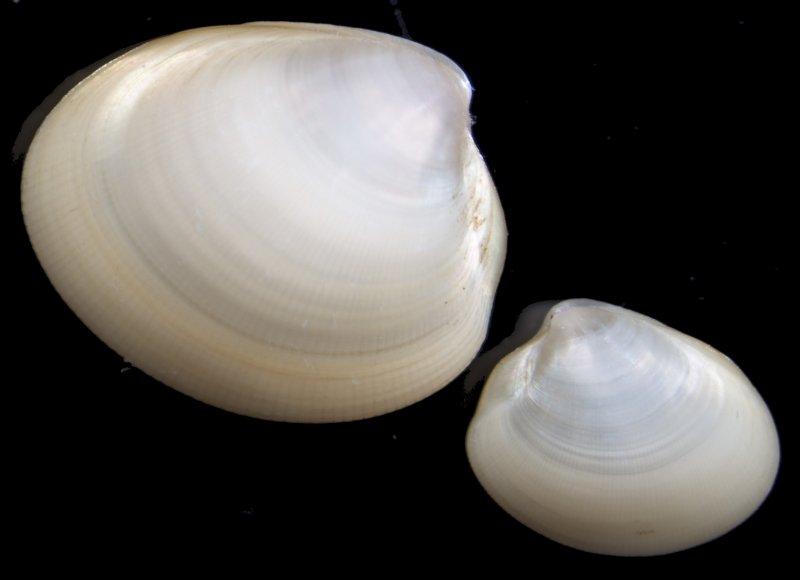 Nucular Nut Clam (Nucula nucleus)