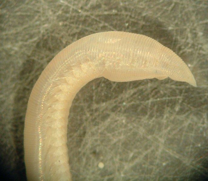 Polychaete Worm (Ophelia borealis)