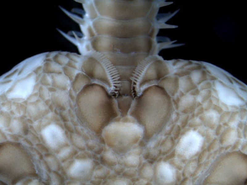 Serpent Starfish (Ophiura ophiura)