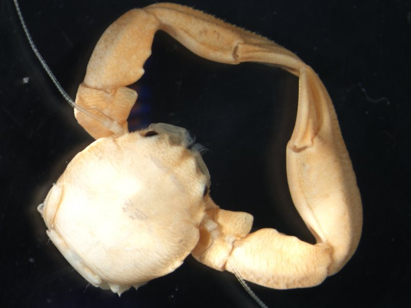 Long clawed porcelain crab (Pisidia longicornis)