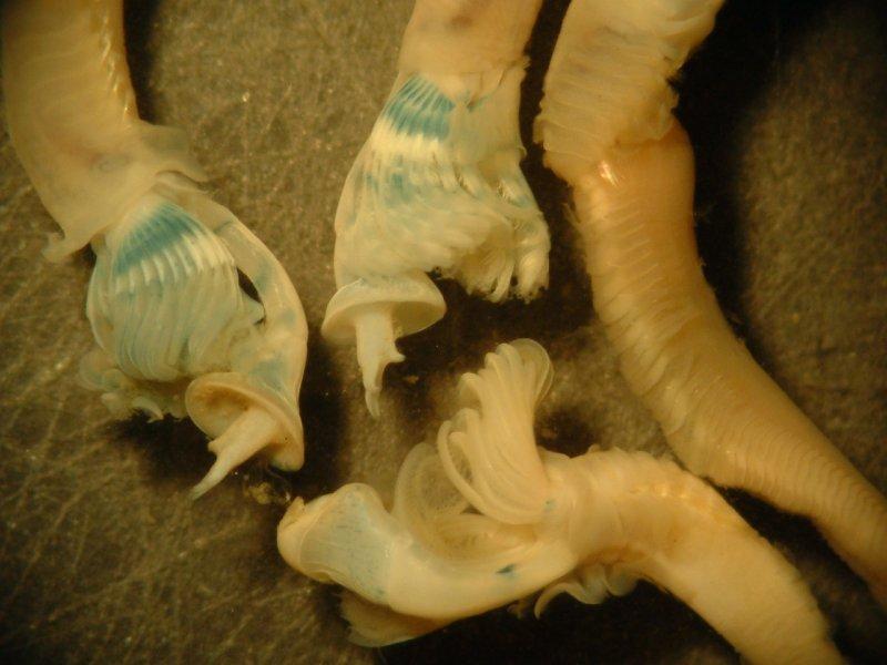 Keelworm (Pomatoceros lamarcki)