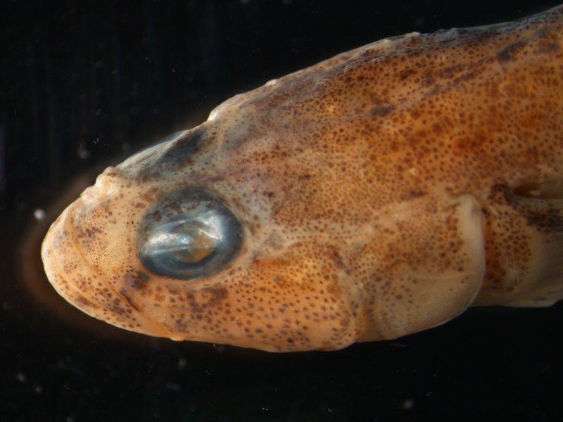 Goby (Pomsatoschistus spp.)