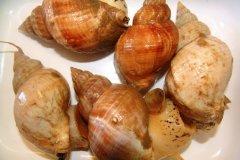 Common Whelk, (Buccinum undatum)