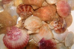 Scallops (Aequipecten spp.)