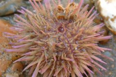 Sea Urchin (Psammechinus spp.)