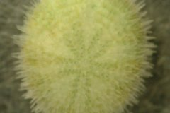 Sea Urchin (Echinocyamus spp.)
