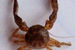 Porcelain Crab (Pisidia spp.)