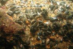 Blue Mussels (Mytulis edulis)