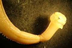 Blood worm (Glycera alba)