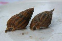 Netted Dog Whelk (Hinia reticulata)