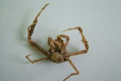 Scorpion Spider Crab (Inachus dorsettensis)