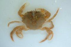 Flying Crab (Liocarcinus holsatus)