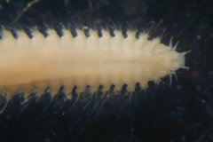White catworm (Nephtys cirrosa) 20mm anterior