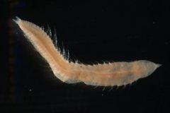 A bristleworm (Ophelia borealis)