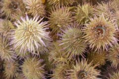 Green Sea Urchin (Psammechinus miliaris)