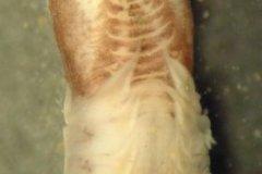 Ross Worm (Sabellaria spinulosa)