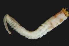 Ross worm (Sabellaria spinulosa)